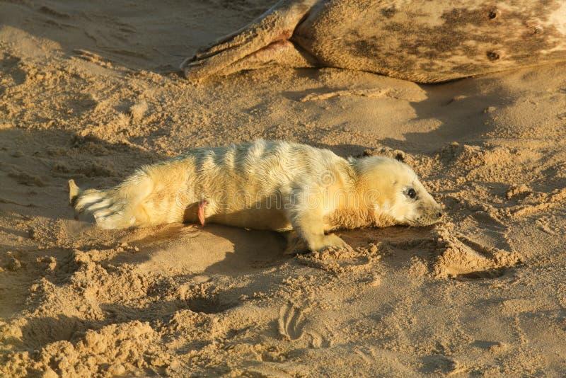 Een onlangs geboren Grey Seal-grypus die van jonghalichoerus op het strand op een zonnige dag in Horsey, Norfolk, het UK liggen stock fotografie