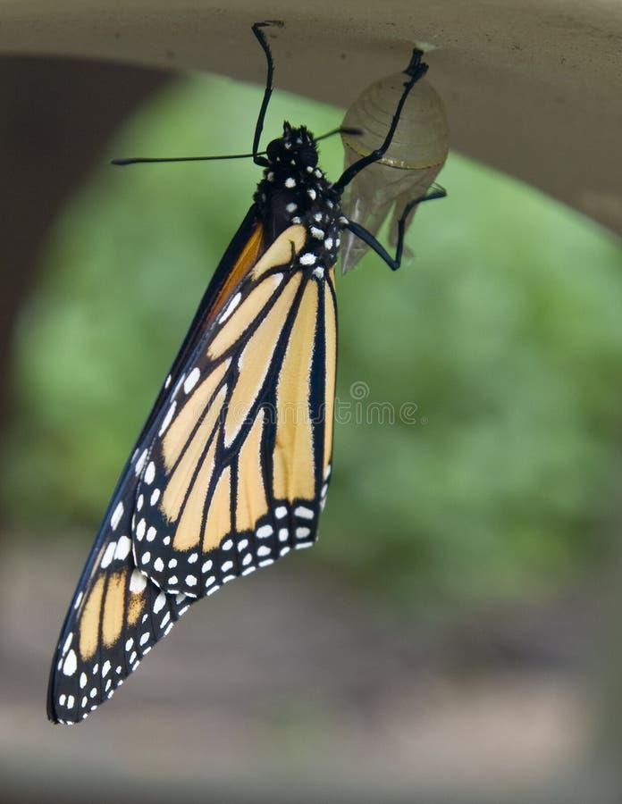 Een onlangs uitgebroede monarch stock foto