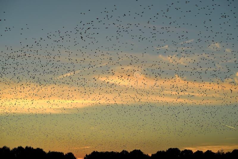 Een ontelbare hoeveelheid vogels die in patronen bij zonsondergang vliegen die voor de zuidwaartse migratie voorbereidingen treff royalty-vrije stock fotografie