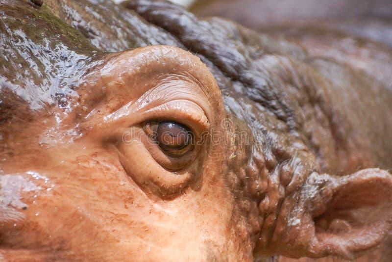 Een oog van een hippopotamus stock foto's