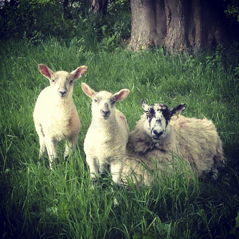 Een ooi en twee lammeren in lange gras stock fotografie
