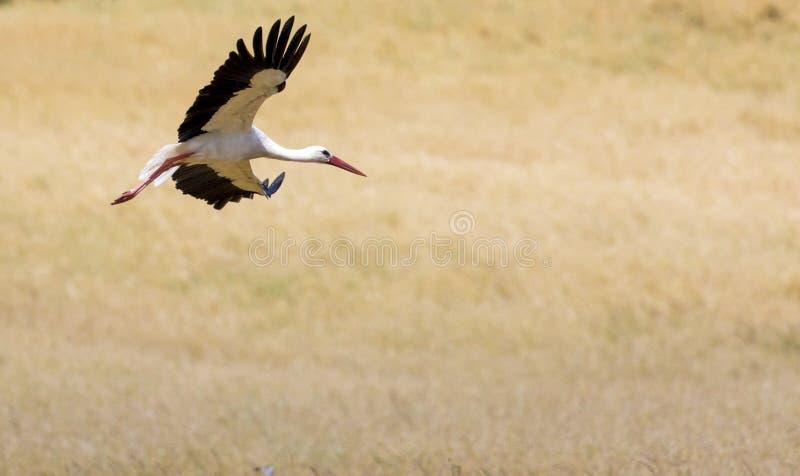Een Ooievaar tijdens de vlucht in Suwalki-Landschapspark, Polen royalty-vrije stock afbeeldingen