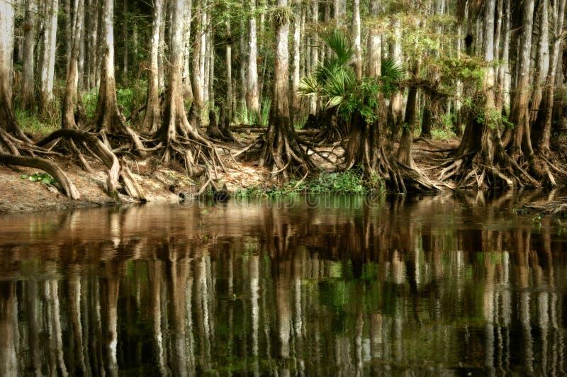 Een oorspronkelijke tribune van inheemse kale cipresbomen denkt in sti na royalty-vrije stock afbeeldingen
