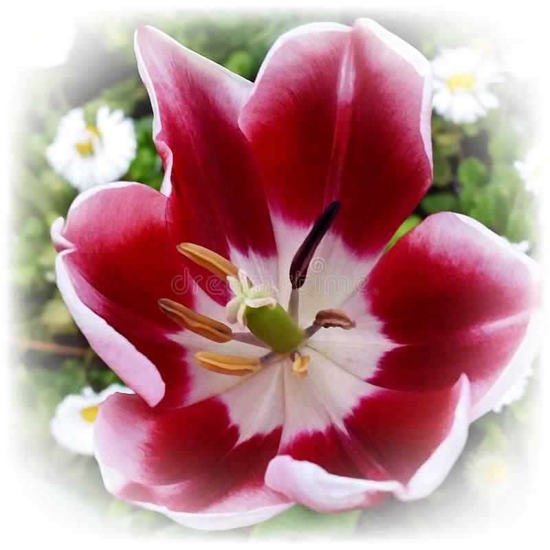 Een open heldere rode tulp stock afbeeldingen