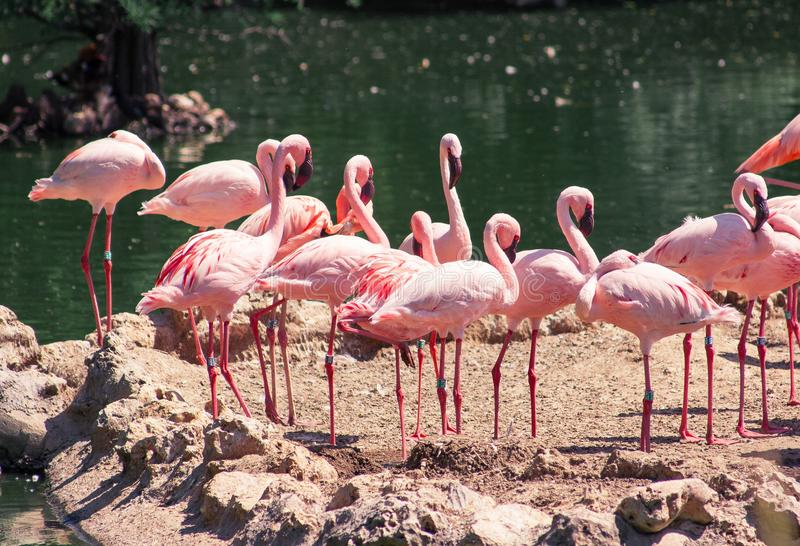 Een Opzichtigheid van Flamingo's royalty-vrije stock foto
