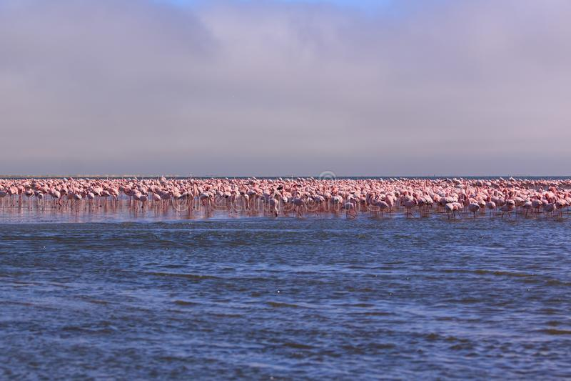 Een Opzichtigheid van Flamingoes in Swakopmund, Namibië royalty-vrije stock foto