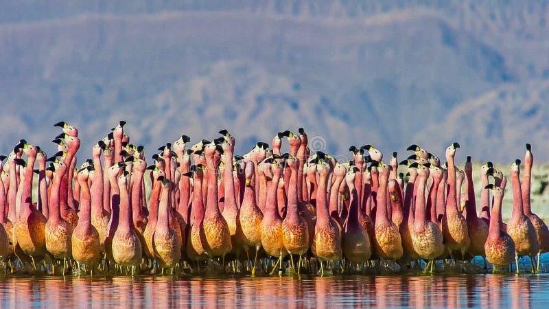 Een opzichtigheid van grotere flamingo's die in het water, zout-pannen waden stock foto