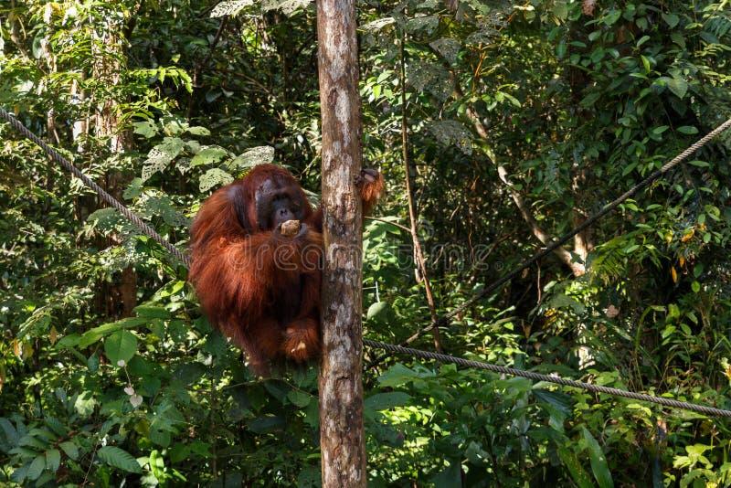 Een orangoetanwijfje royalty-vrije stock foto's
