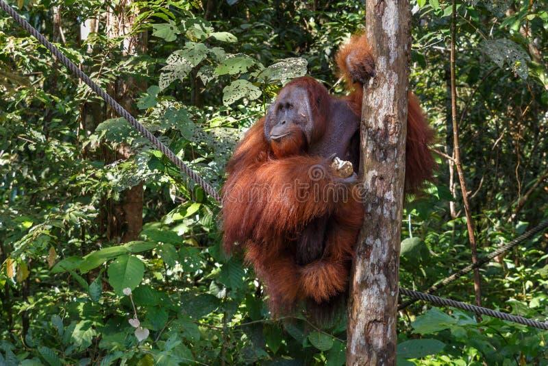 Een orangoetanwijfje royalty-vrije stock foto