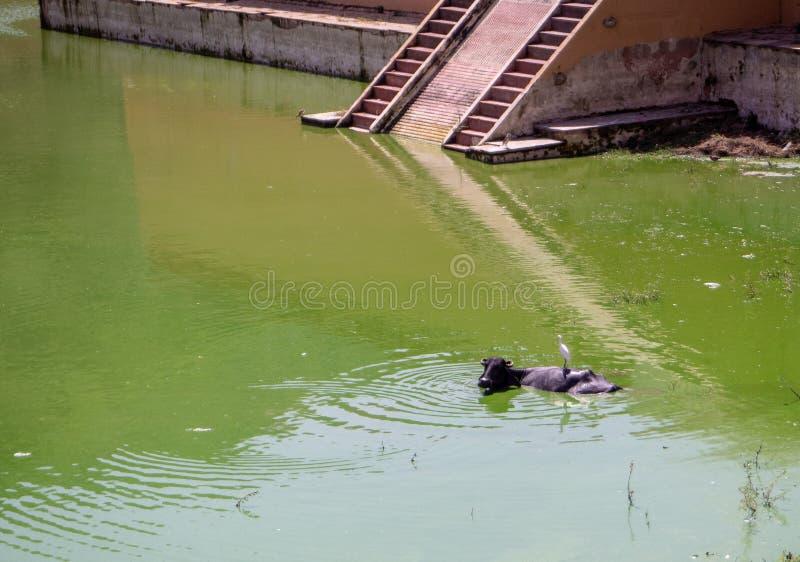 Een os die een bad met een vogel op bovenkant nemen royalty-vrije stock fotografie