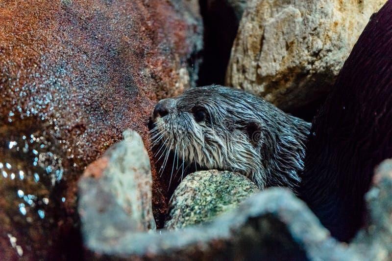 Een otterhoofd tussen stenen stock afbeelding