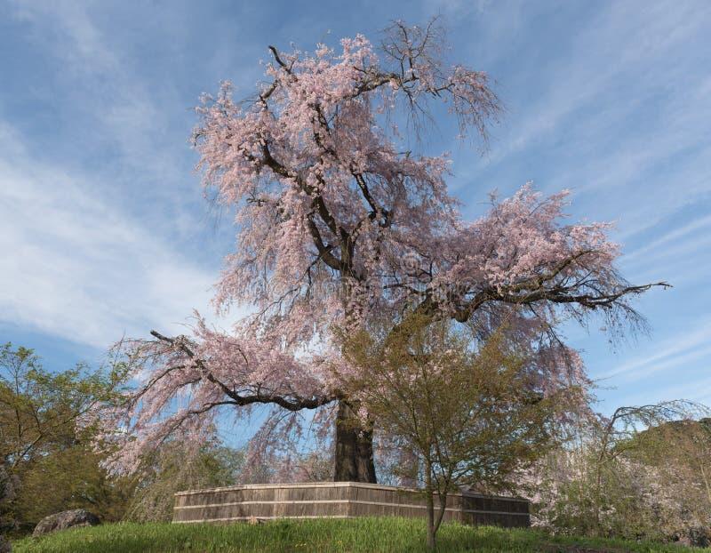 Een oude beroemde oude boom van de kersenbloesem bij Maruyama-Park in KY royalty-vrije stock afbeeldingen