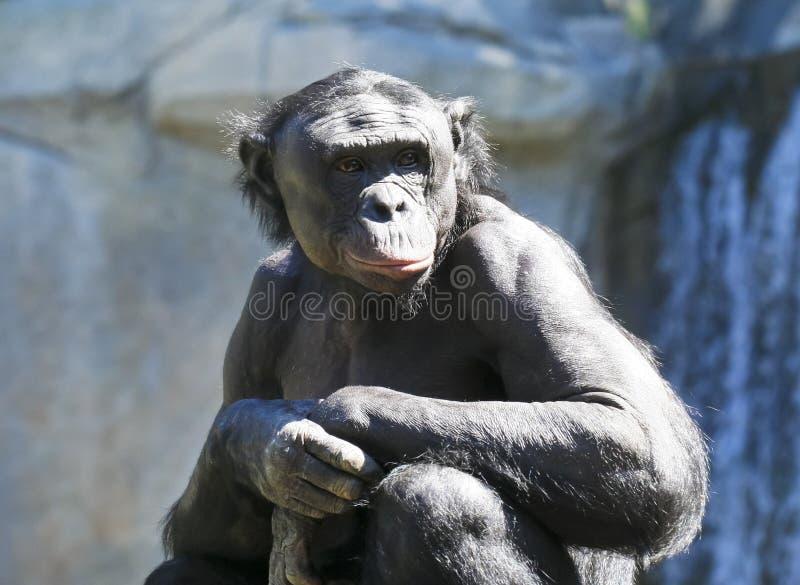 Een oude Bonobo zit in de Zon royalty-vrije stock afbeelding
