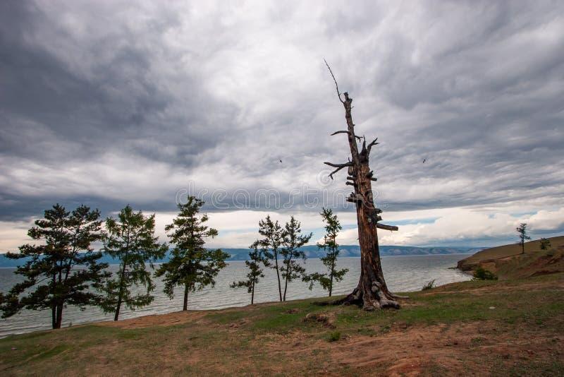 Een oude droge boom bevindt zich op de zandige kust van Meer Baikal met verscheidene groenere bomen close-up De zeemeeuwen van de stock foto's