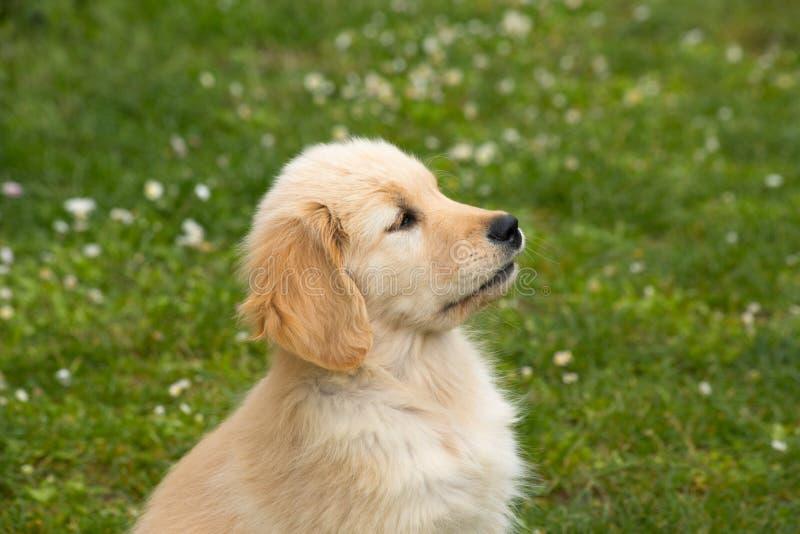 Een oude Golden retrieverhond van twee maand royalty-vrije stock fotografie