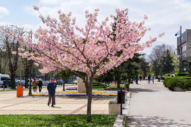 Een oude mens komt tot een bloeiende sakuraboom zijn het weelderige roze bloeien bewonderen Het stadsleven bij de lente royalty-vrije stock afbeeldingen