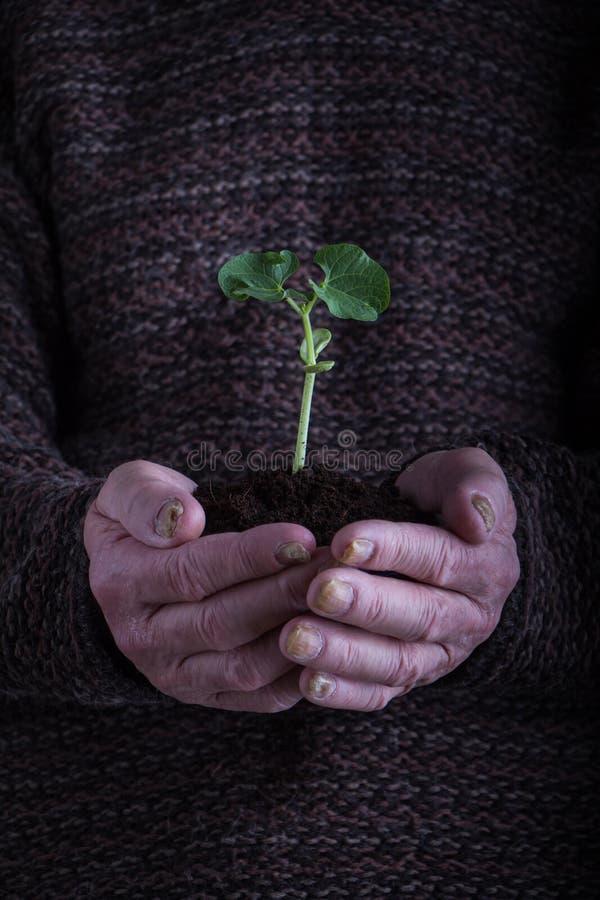 Een oude mensenhanden die een groene jonge plant over donkere sweater houden Symbool van de lente en milieuconcept royalty-vrije stock foto