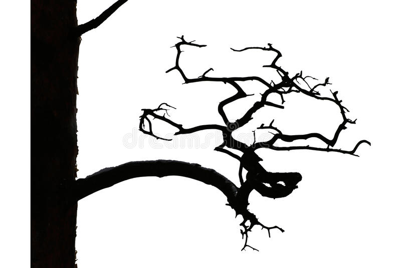 Een oude pijnboom met een curvy tak royalty-vrije stock afbeeldingen