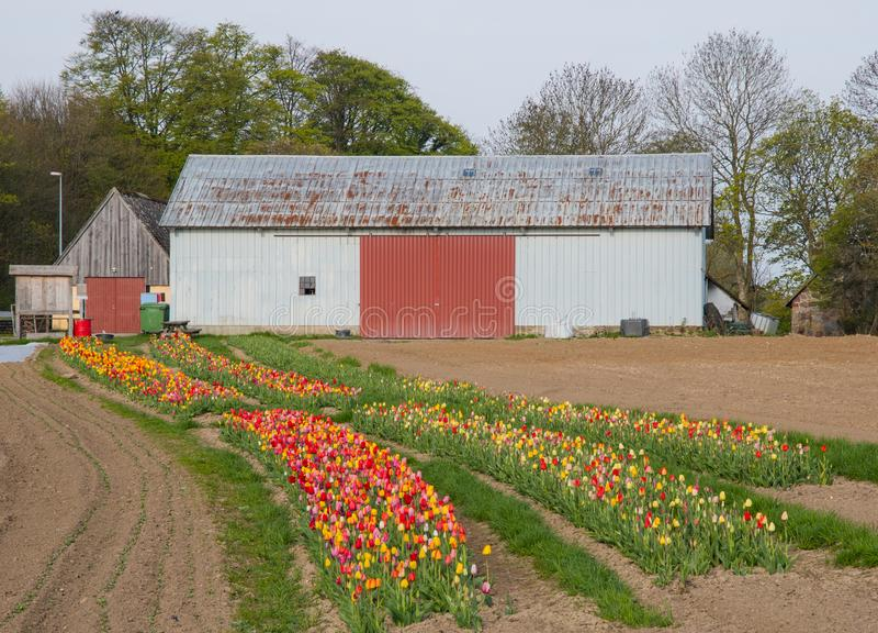 Een oude schuur dichtbij een bloemgebied op het Deense platteland stock afbeelding