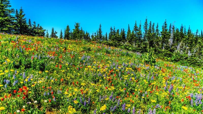 Een overvloed van wildflowers op Jeneverbessenrand in hoge alpien stock fotografie