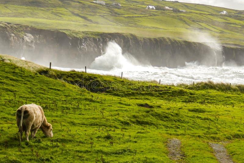 In een overweldigende pastorale scène op de Ierse Wilde Atlantische Manier, weidt een koe vreedzaam at high tide door een kustinh royalty-vrije stock fotografie
