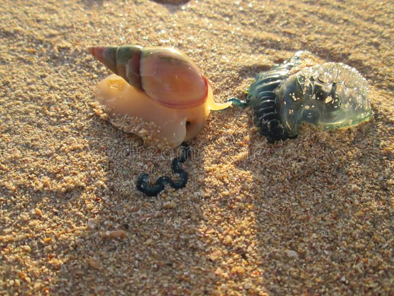 Een Overzeese Slak die een Bromvliegkwal aanvallen stock foto