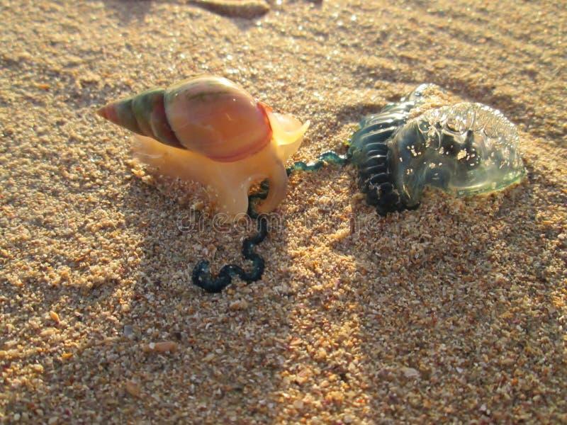 Een Overzeese Slak die een Bromvliegkwal aanvallen stock afbeelding