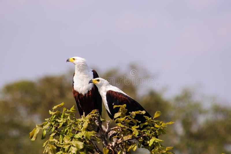 Een paar Afrikaanse Vissen Eagles bij de bovenkant van een boom stock afbeelding