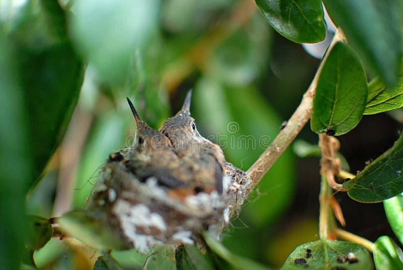 Een paar babykolibries in een nest in een kleine boom stock foto's