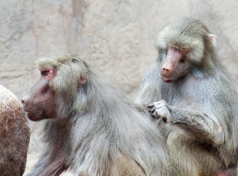 Een Paar Bavianen Sit Grooming Each Other royalty-vrije stock fotografie