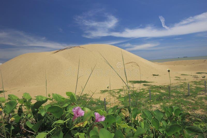 Een paar bloemen van de klimplant van de Ochtendglorie bij de voet van zandduin door het strand royalty-vrije stock afbeelding
