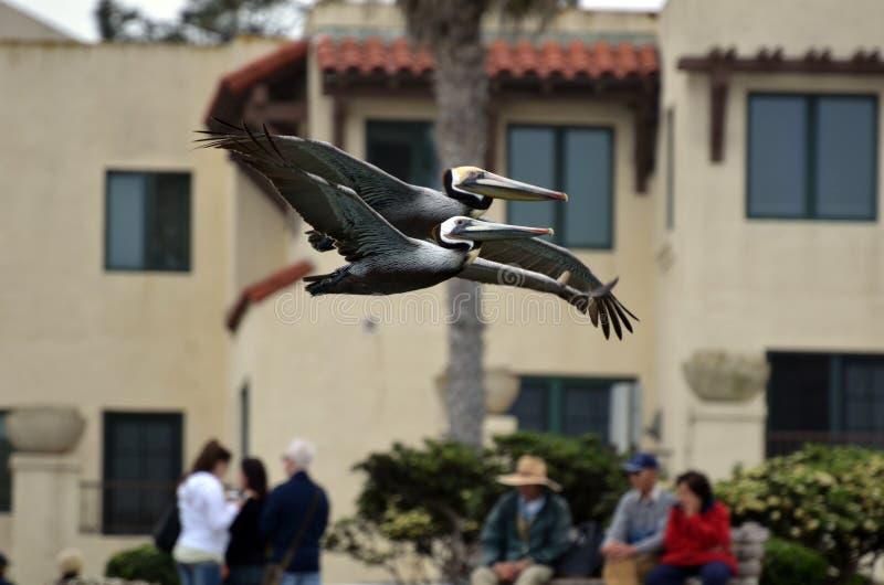 Een paar bruine pelikanen vliegen dicht alsof 'hand in hand ' royalty-vrije stock foto