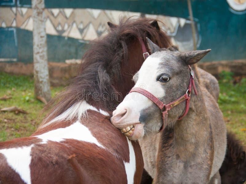Een paar dat paarden affectie toont stock afbeelding