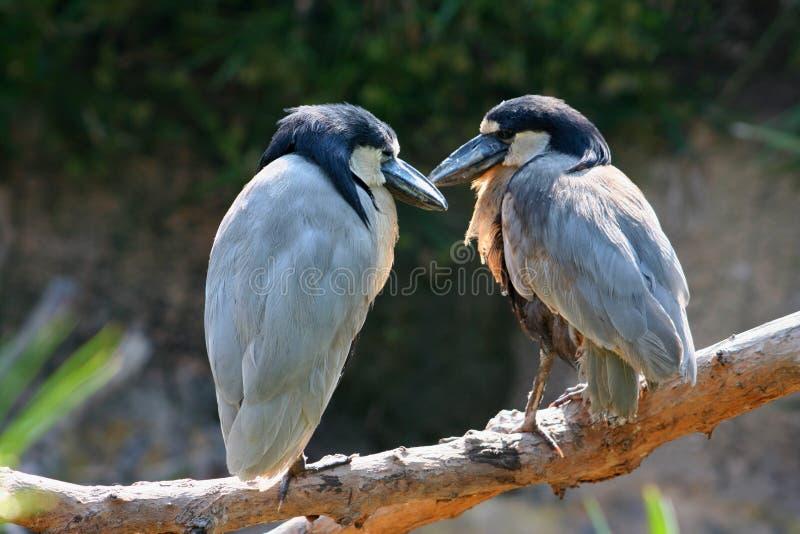 Een paar die vogels hun affectie tonen stock foto's