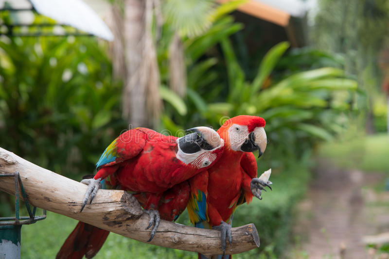 Een paar doctorandus in de letteren-Kern papegaai stock foto