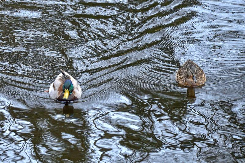 Een paar Eenden zwemmen in de Rivier stock afbeeldingen