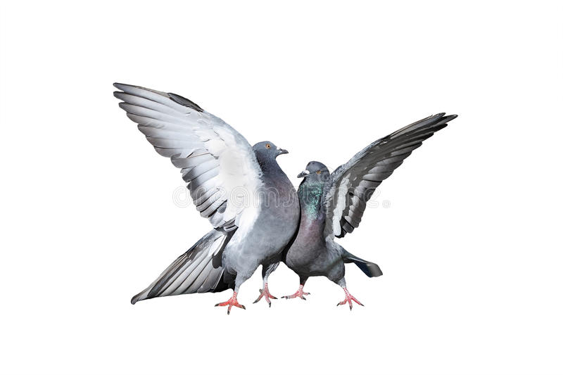 Een paar en rotsduiven die spreidde zijn vleugels en veren uit cooing kussen stock afbeeldingen