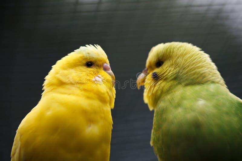 Een paar golvende papegaaien royalty-vrije stock afbeeldingen