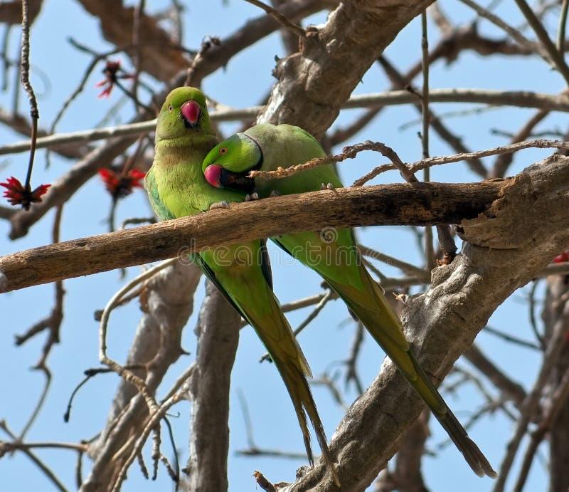 Een paar groene papegaaien op een boomtak. royalty-vrije stock foto