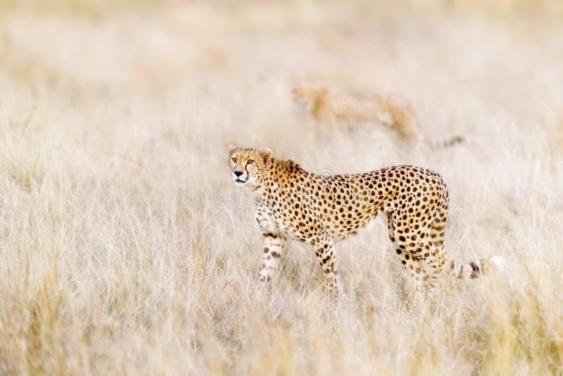 Een paar jachtluipaarden beweegt zich steathily door het lange gras van Masai Mara royalty-vrije stock fotografie