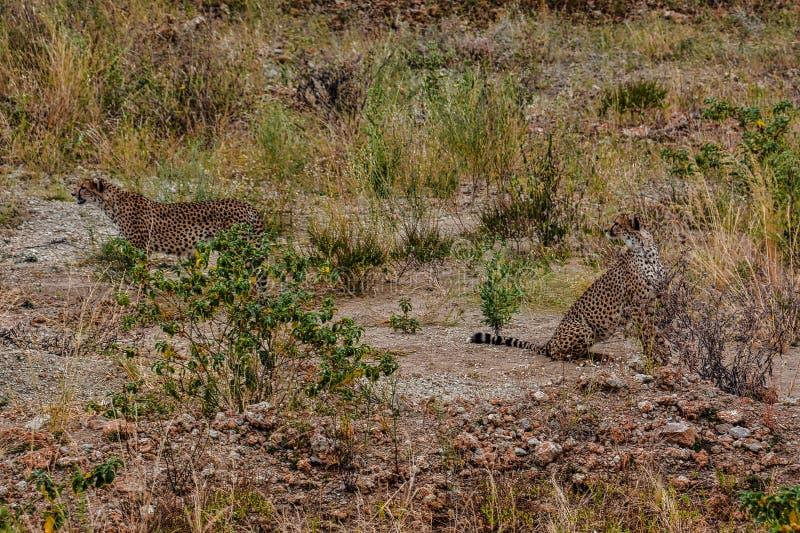 Een paar jachtluipaarden die iets in de dichtbijgelegen afstand van het Nationale Park Tanzania bekijken van Tarangire stock afbeeldingen