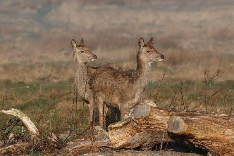 Een paar jonge rode herten achterste bij eerste licht royalty-vrije stock fotografie