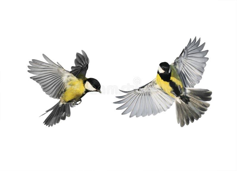 Een paar kleine vogelschickadees die vliegen naar spreiden zijn winst uit stock afbeelding