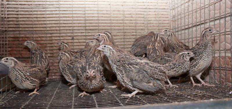 Een paar kwartels in een kooi op een kip bewerken royalty-vrije stock fotografie