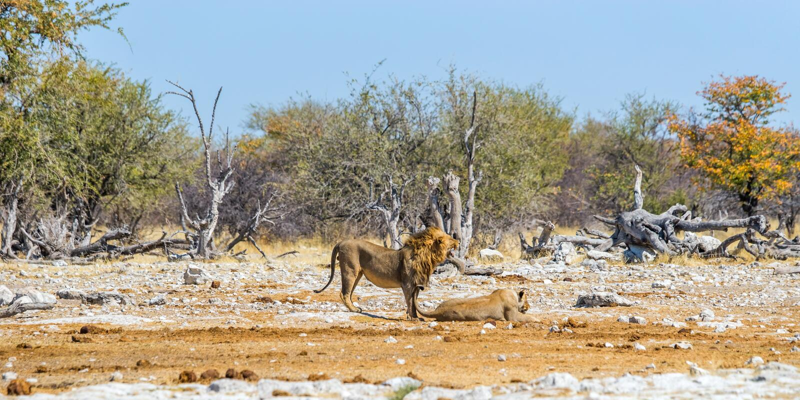 Een paar leeuwen in de Afrikaanse savanne van de de winterdroogte stock foto
