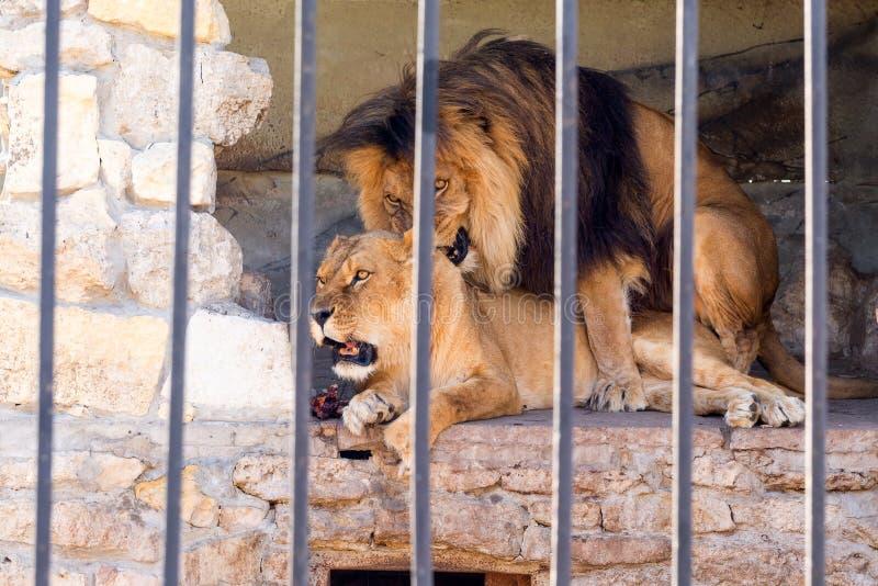 Een paar leeuwen in gevangenschap in een dierentuin achter de tralies Huwelijksperiode voor leeuwen Dierlijk instinct royalty-vrije stock afbeelding