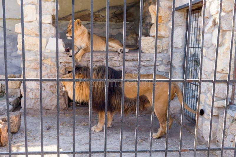 Een paar leeuwen in gevangenschap in een dierentuin achter de tralies Macht en agressie in de kooi royalty-vrije stock afbeeldingen