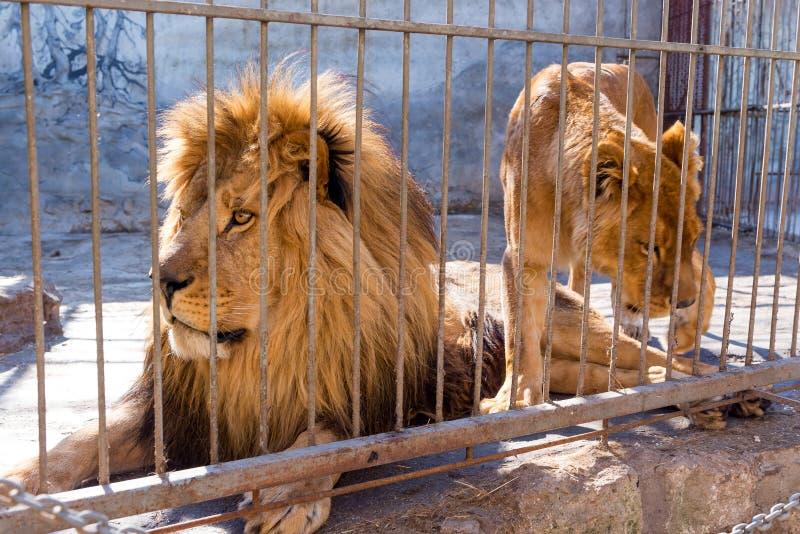 Een paar leeuwen in gevangenschap in een dierentuin achter de tralies Macht en agressie in de kooi stock afbeelding