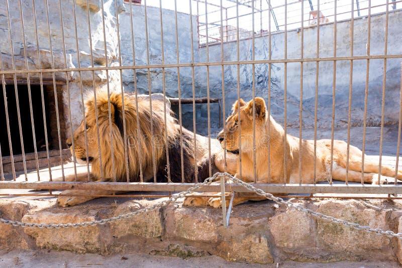 Een paar leeuwen in gevangenschap in een dierentuin achter de tralies Macht en agressie in de kooi royalty-vrije stock fotografie