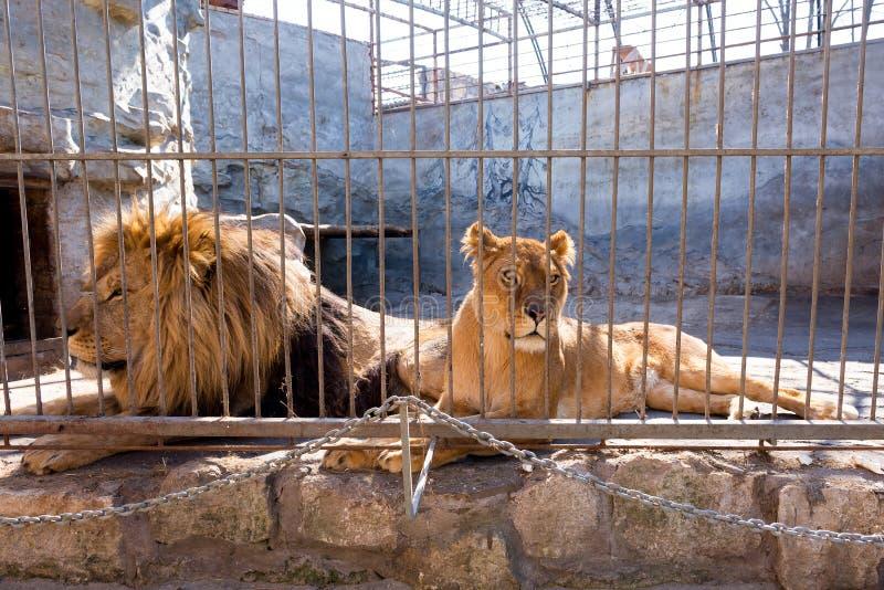 Een paar leeuwen in gevangenschap in een dierentuin achter de tralies Macht en agressie in de kooi stock foto's